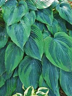Heavenly Hostas and Heucheras в Pinterest